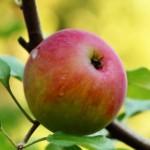 Mrazenie jabĺk dvoma spôsobmi