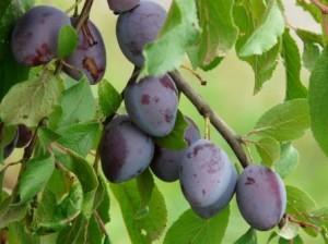 Na výrobu slivkového pretlaku vytriedime iba pekne sfarbené a úplne zrelé plody.