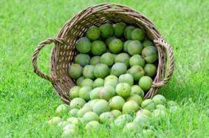 Na ringlotový kompót sú najvhodnejšie plody odrody ringloty zelenej.